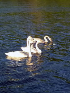 Campground Photo swans 2